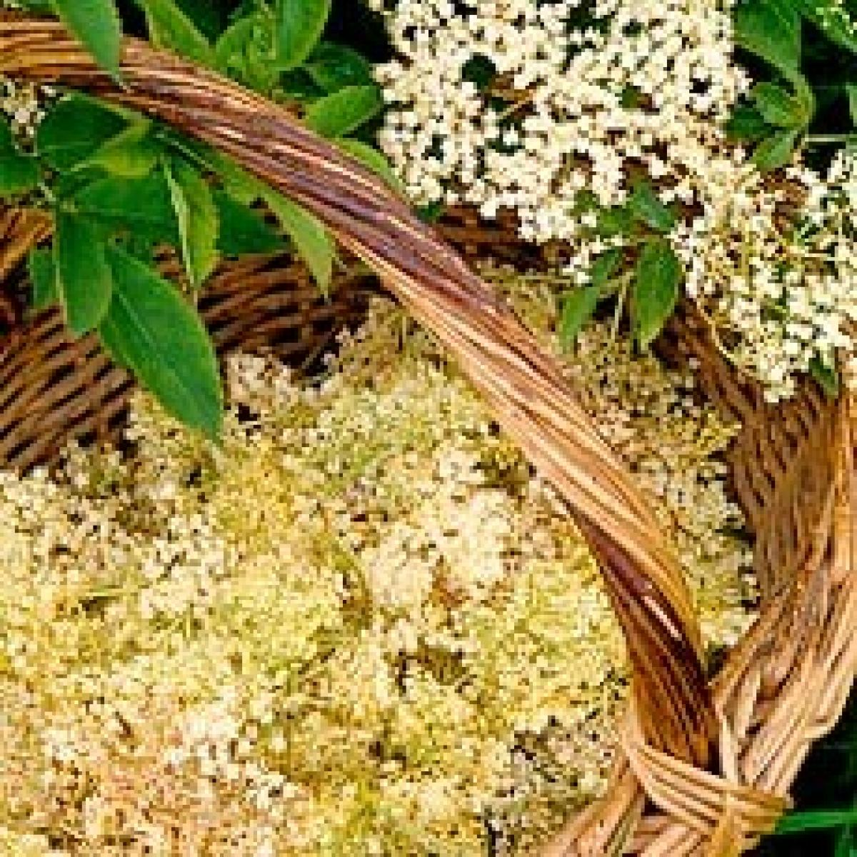 Elderflowers 19460