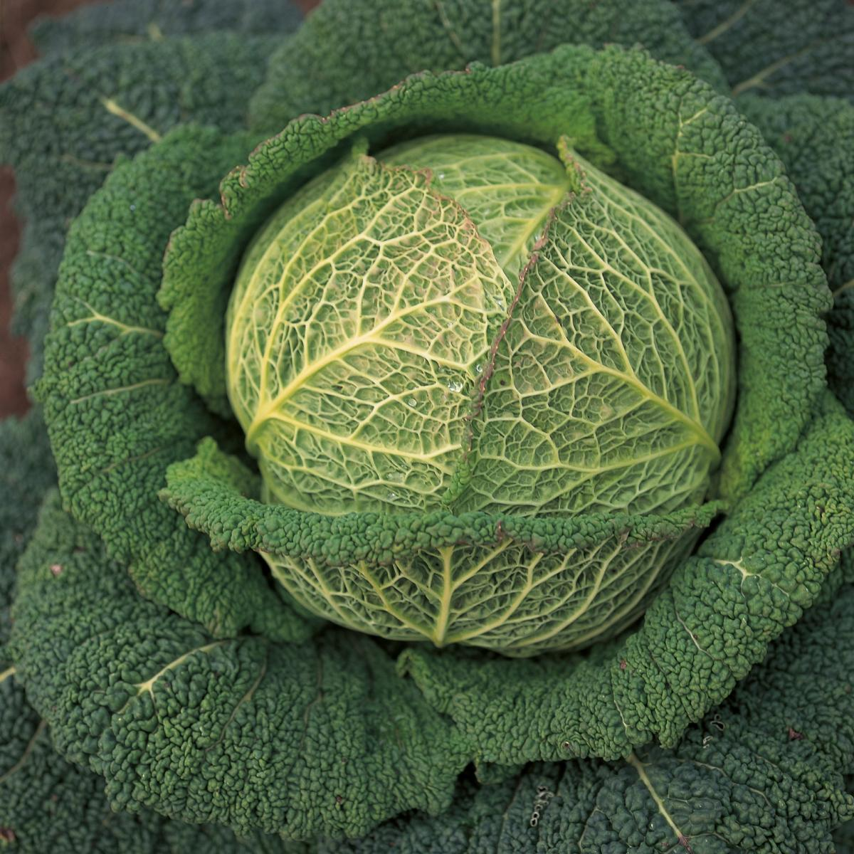 Ingredient htc cabbage