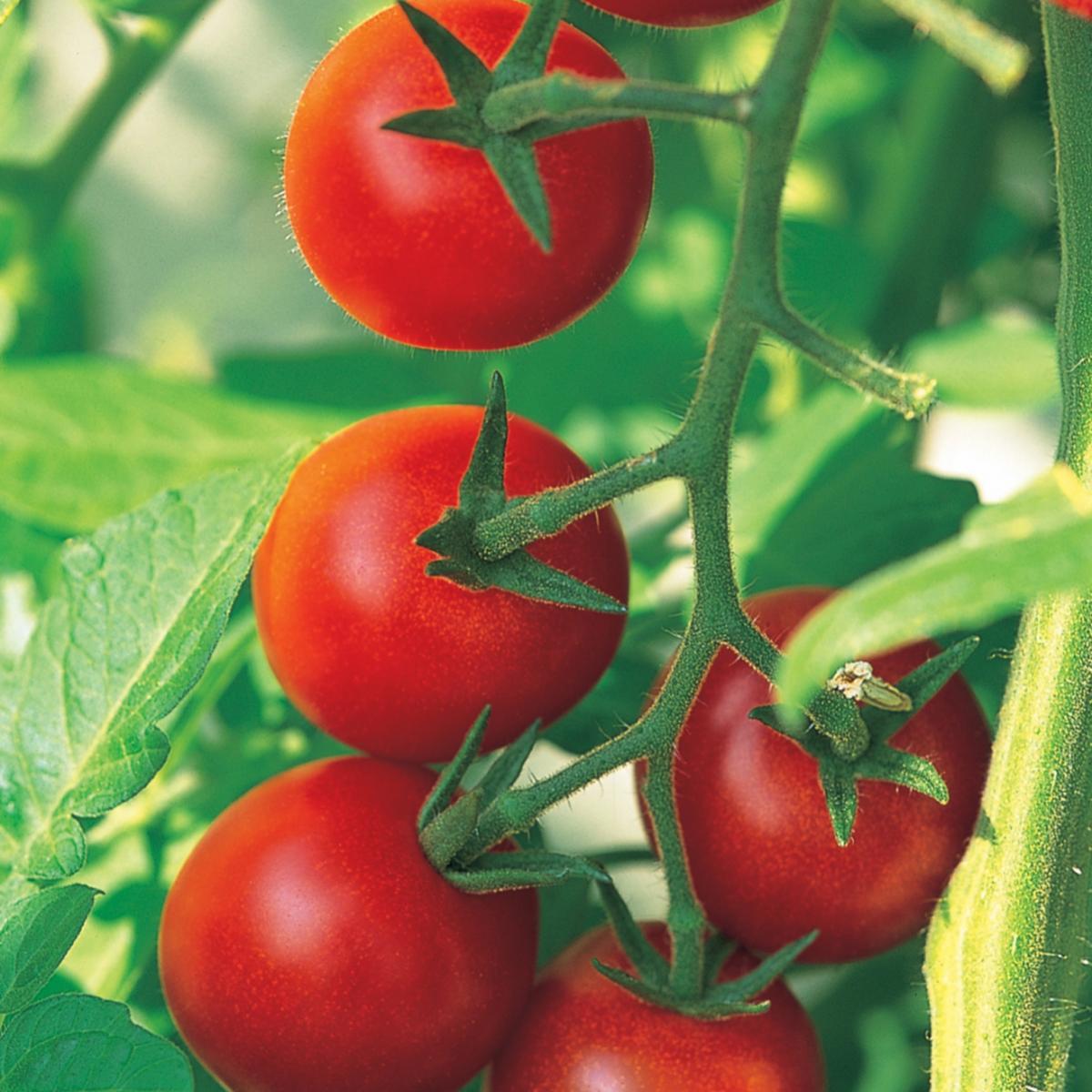 Ingredient italian tomatoes