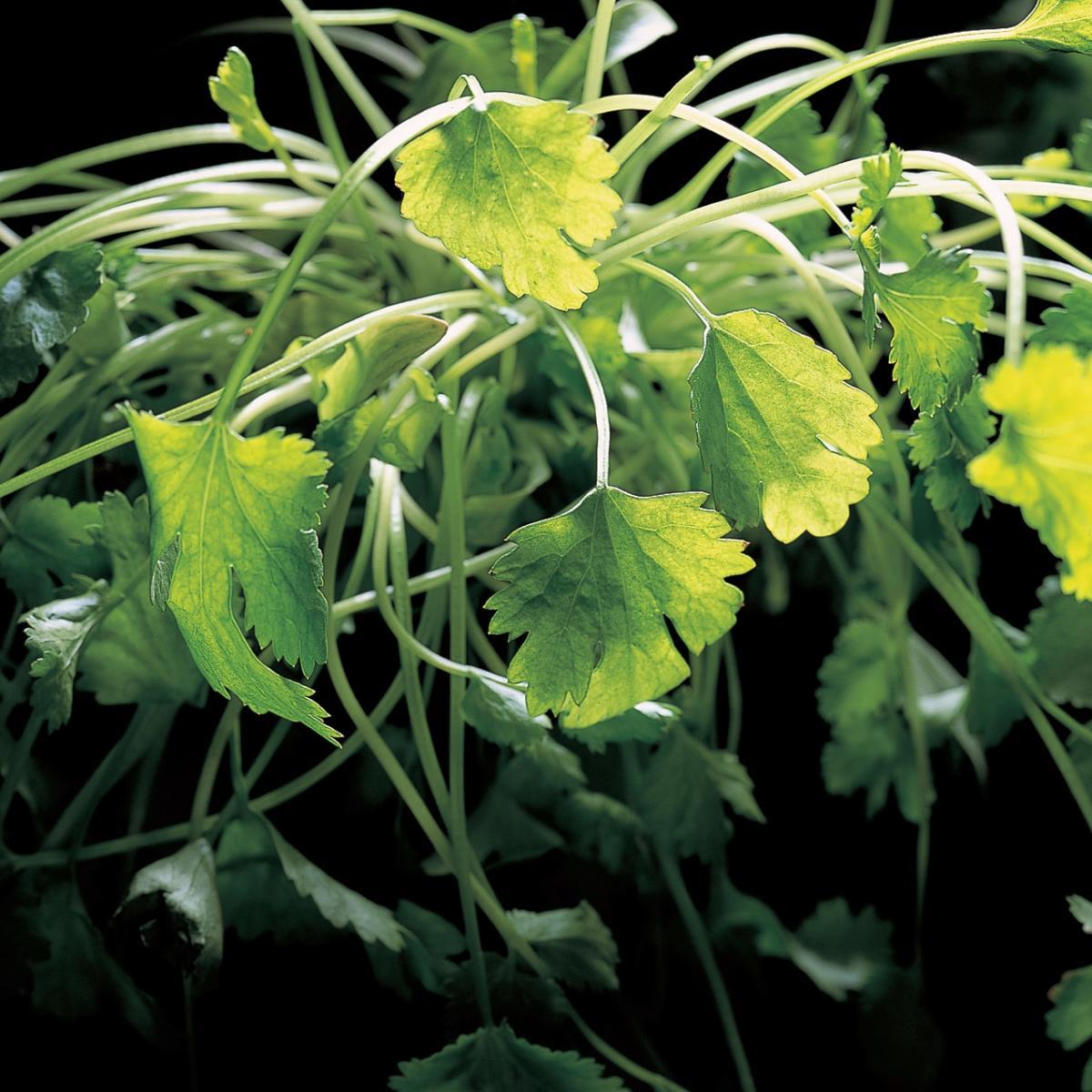Ingredient vegetarian coriander