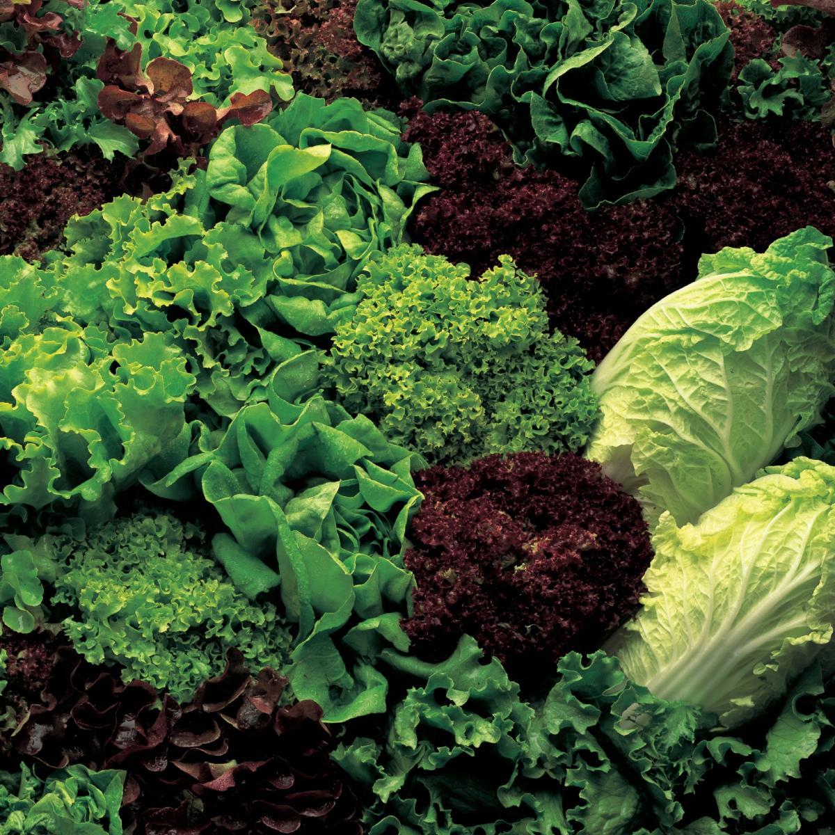 Ingredient vegetarian lettuce